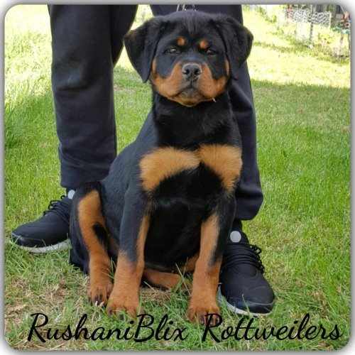 TK NEW YORKER Puppies Rottweilers